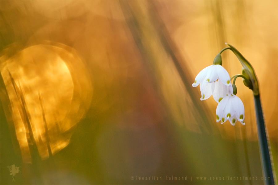 Spring Snowflake Flower photography Leucojum vernum Summer Loddon Lily Leucojum aestivum Zomerklokje lenteklokje Narcisklokje silhouette sunset