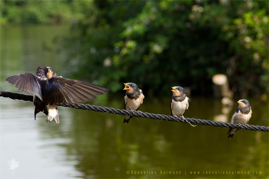 Young Barn Swallows (Hirundo rustica) on a rope, begging for food