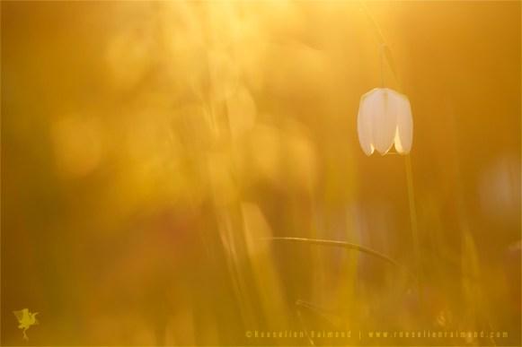 Snake's Head fritillary Fritillaria meleagris kievitsbloem light bokeh sunset