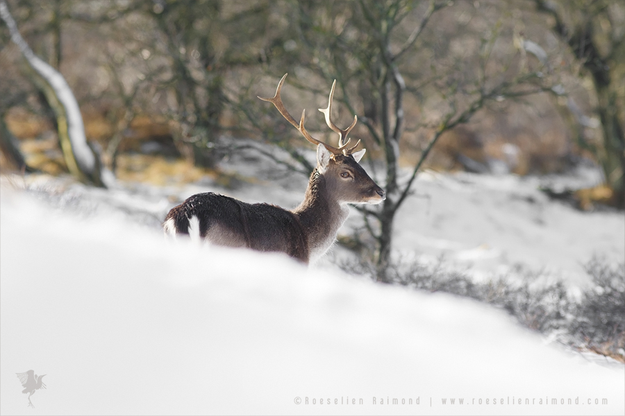 fallow deer snow winter frost rime hoar winter white