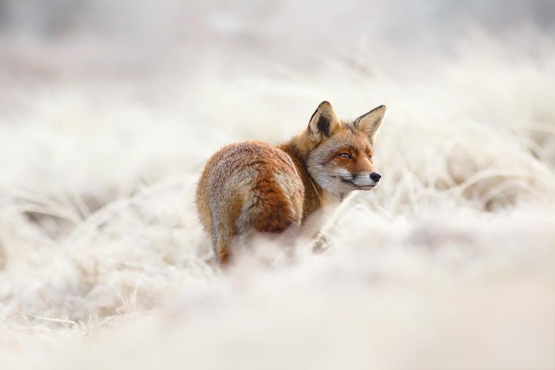 fox frost rime hoar winter white