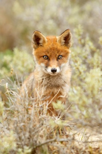 fox art nature art wall decoration photo art