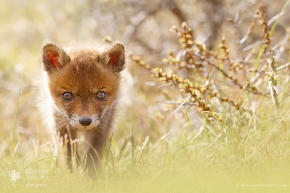 Baby Fox Kit