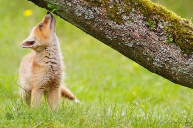 Curious Fox Kit