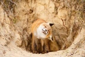 red fox vulpes vulpes sand shaking
