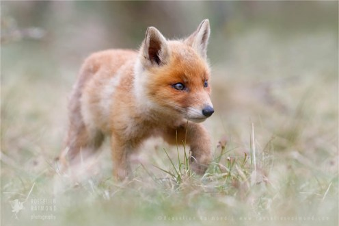 cute fox cub walking around