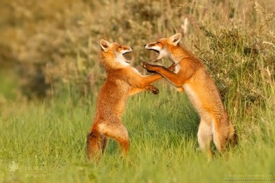 Two young fox kits 'playfighting' to resolve a conflict and practise their future fighting skills