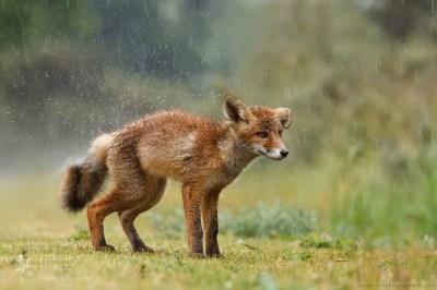Soaking wet fox kit during some heavy raining