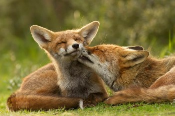 Mother fox removing ticks from her fox kit