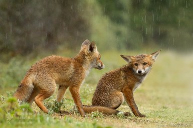 Two Fox Kits in the Rain