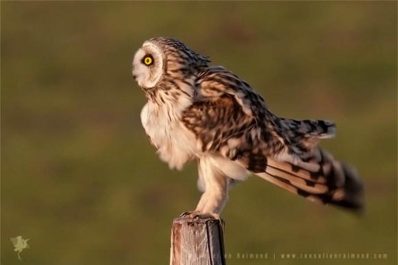 DSC5497B_short_eared_owl