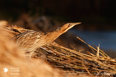Eurasian Bittern Botaurus stellaris snow ice winter cold frozen sundown