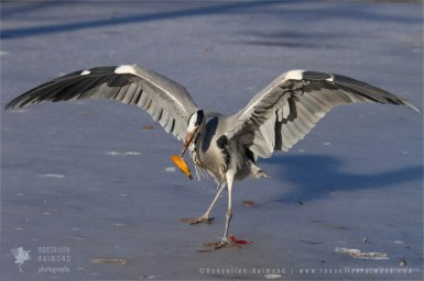 Grey heron Ardea cinerea winter ice cold fish