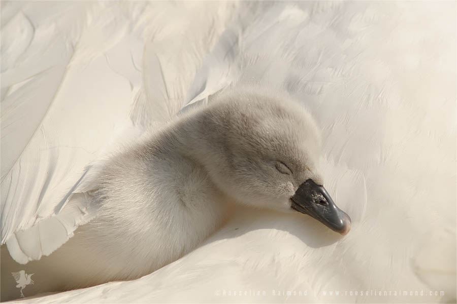 Mute Swan (Cygnus olor) cygnet safe under mothers wings
