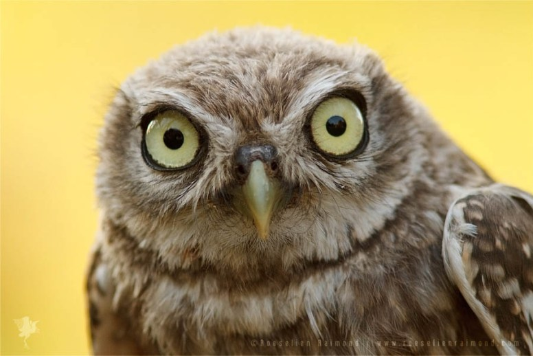 Portrait of a baby animal little owl
