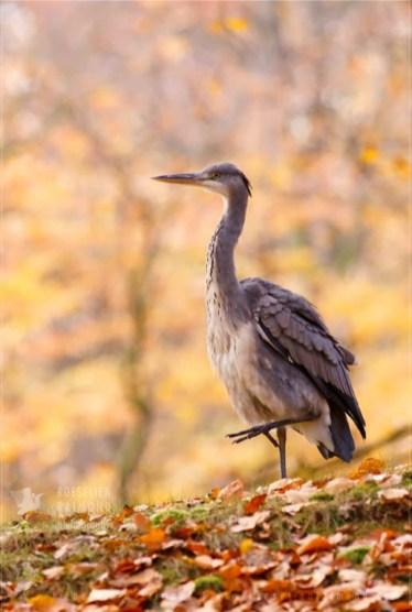 Grey heron Ardea cinerea autumn beech colours
