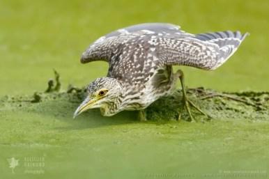 black-crowned night heron,Nycticorax nycticorax,night heron,hunting