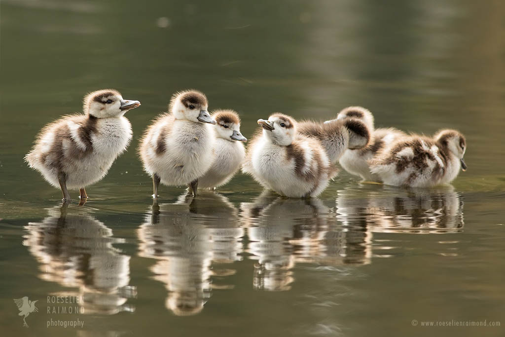Seven goslings in a row in the water
