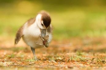 Cute Gosling