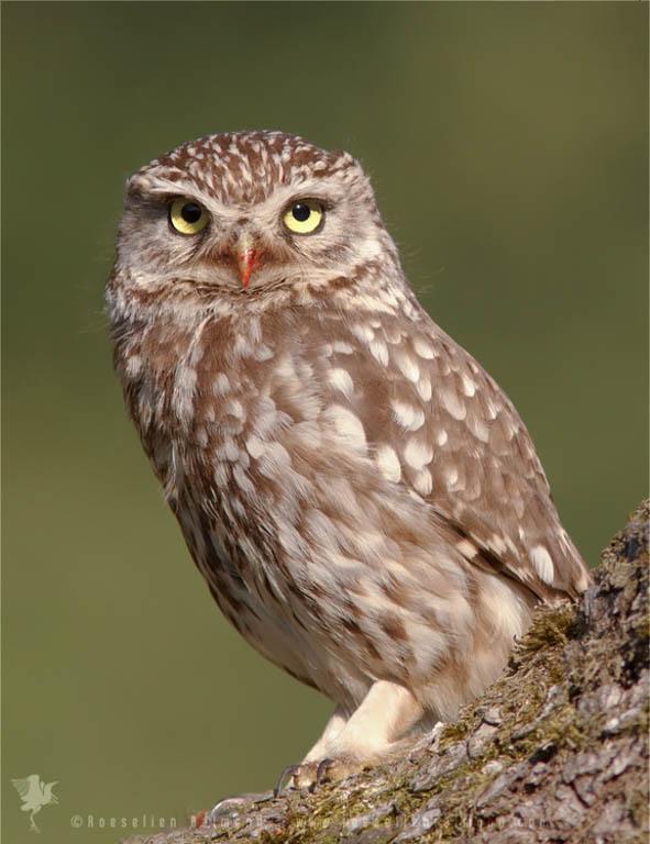 Little Owl (Athene noctua) with a bloody beak