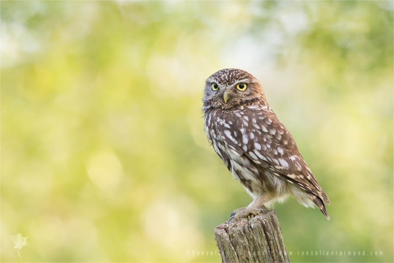 Little owl on a perch