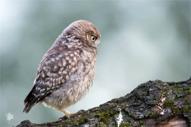 Little owl chick baby animal