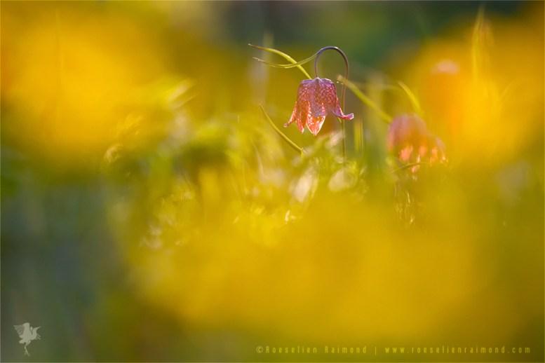 Snake's Head Fritillary chess flower fritillaria meleagris