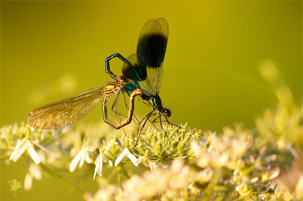 Banded Demoiselles calopteryx splendens mating