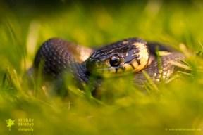 reptile Grass snakereptile Natrix natrix