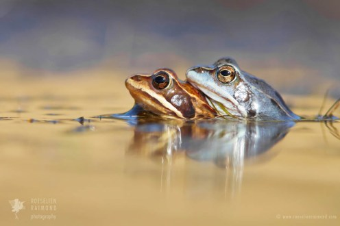 wildlife Moor frog Rana arvalis mating amplex blue amphibians