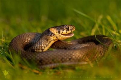 reptile Grass snake Natrix natrix