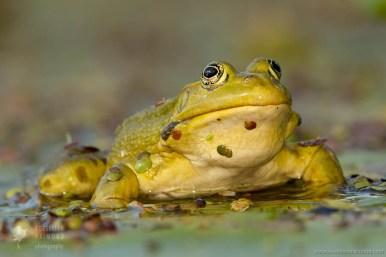 Meerkikker Pelophylax ridibundus Pool frog marsh frog