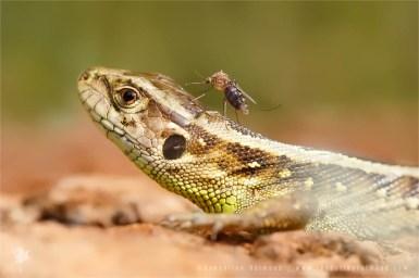 Sand lizard Lacerta agilis mosquito Zandhhagedis mug