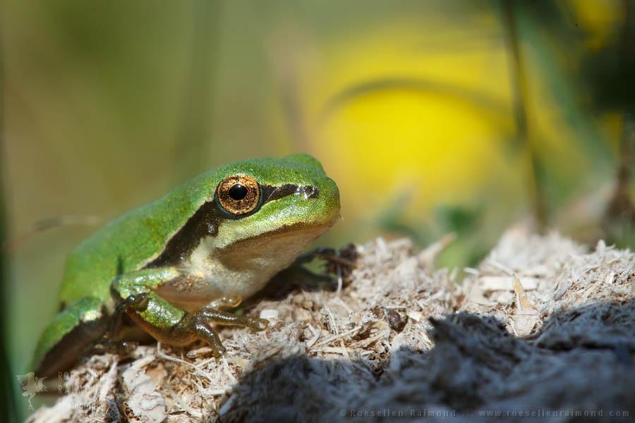 Hyla arborea tree frog baby