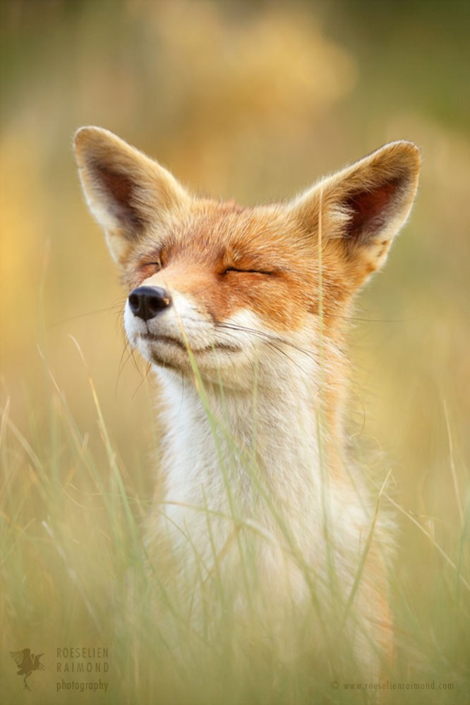 Zen Fox Series: The Mindful Fox IIRed fox just being here and now