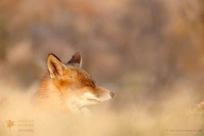 Zen Fox Series - Dream Fox