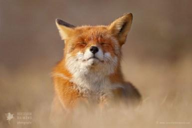 ZEN FOXES