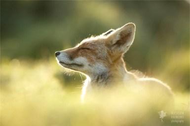 Zen foxes Red fox enjoying the moment photo art fine art