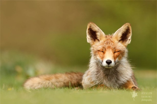Zen foxes red fox relaxing wall decoration fox photography
