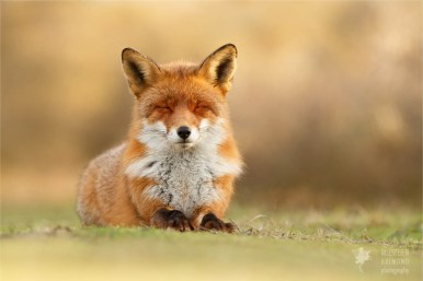 Wild red fox from zen foxes series photo art fine art