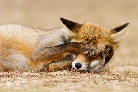 Red fox acting funny