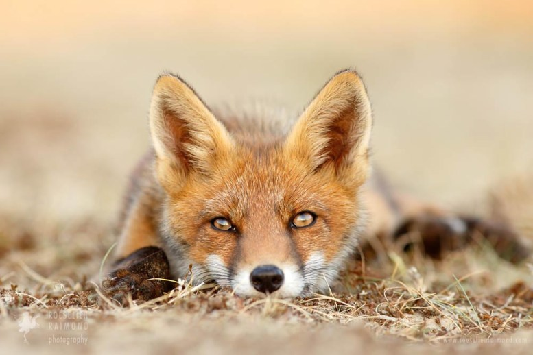 fox kit photo fine art wall decoration