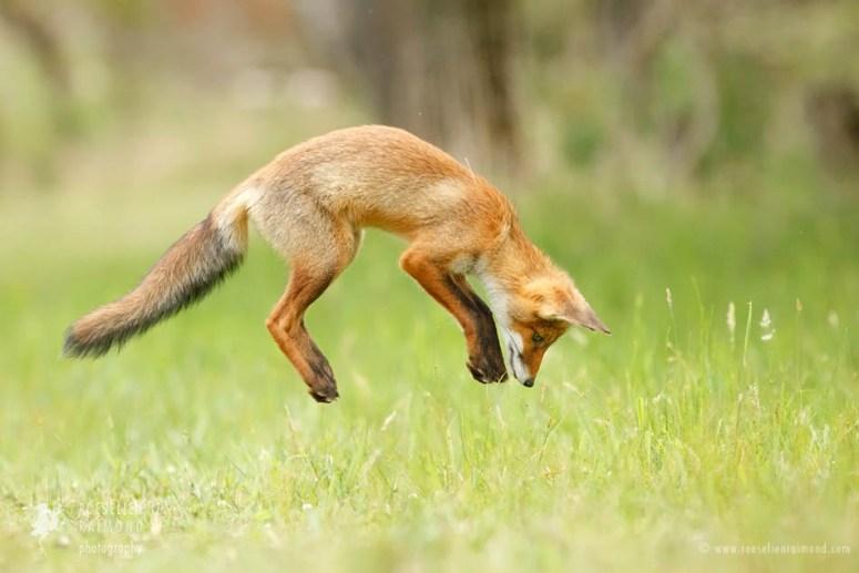 jumping red fox kit