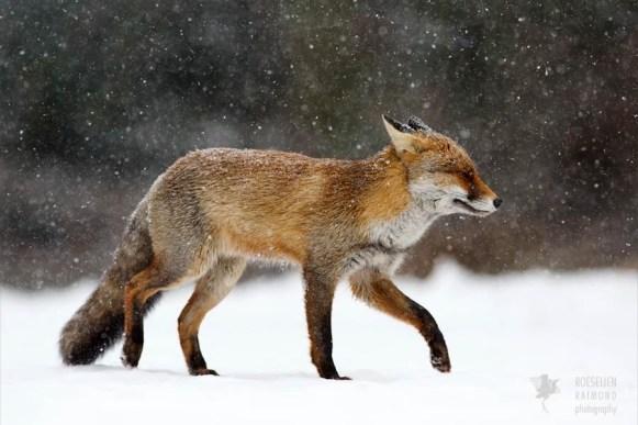fine art fox in a snow storm photo art