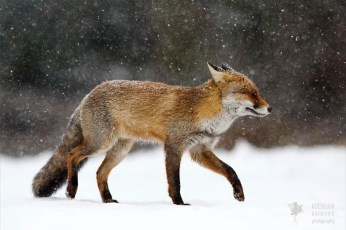 fine art fox in a snow storm photo art