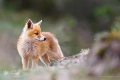 _X1B7837_baby_fox