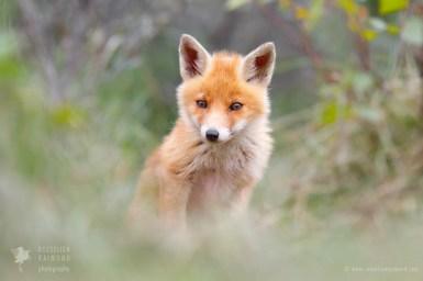 _X1B7849_cute_fox_cub