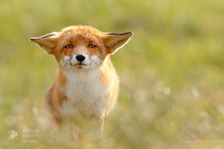 Fox with an Itch