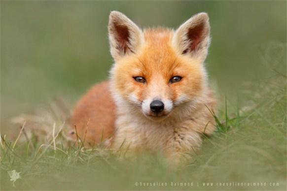 cute_fox_cub (2)