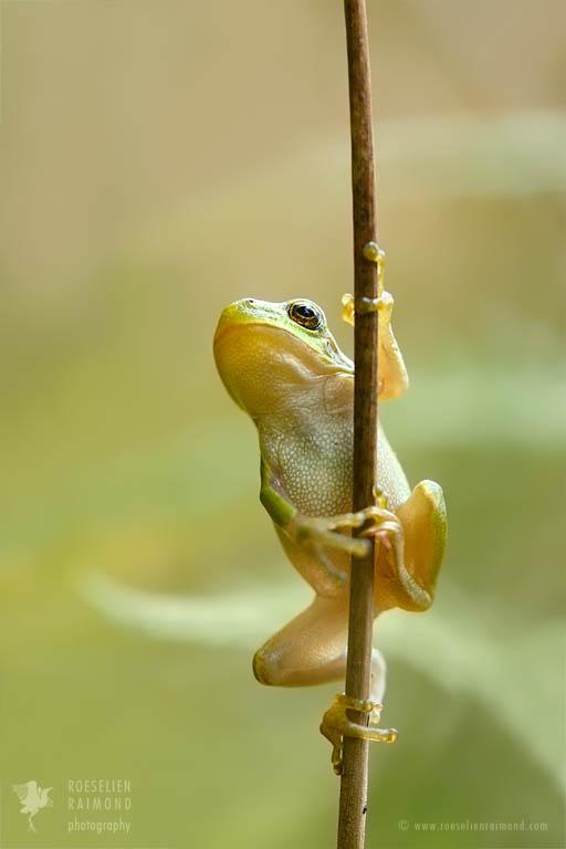 Climbing tree frog (Hyla arborea)